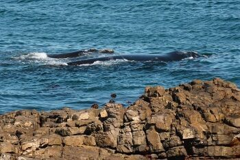 Humpback whales at Hermanus